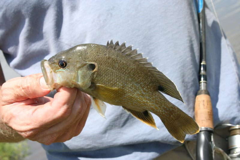 Pondboss.com Green Sunfish traits